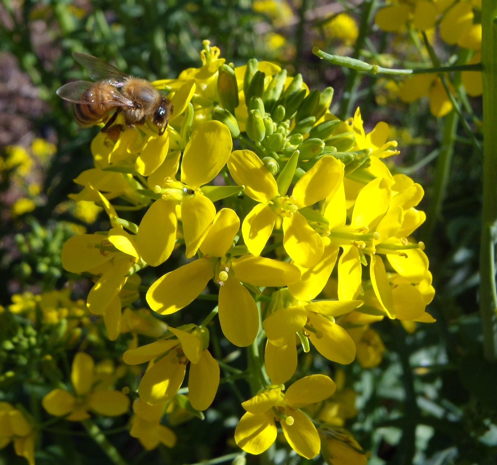 honey-bee-on-brassica-blossoms-2