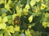 honey-bee-on-brassica-blossoms