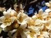 honeybee-loquat