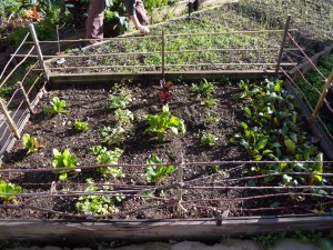 Winter greens, protected by Kelly's 'chicken-proof' fencing.