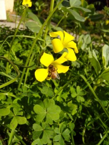 The bees are enjoying Oxalis, even as we make yet another half-hearted effort to rid the garden of it.