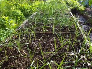 Garlic, onions, leeks, elephant garlic.