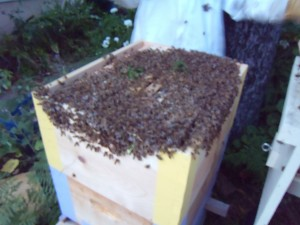 A terrible dusky picture of the bees immediately post hiving.