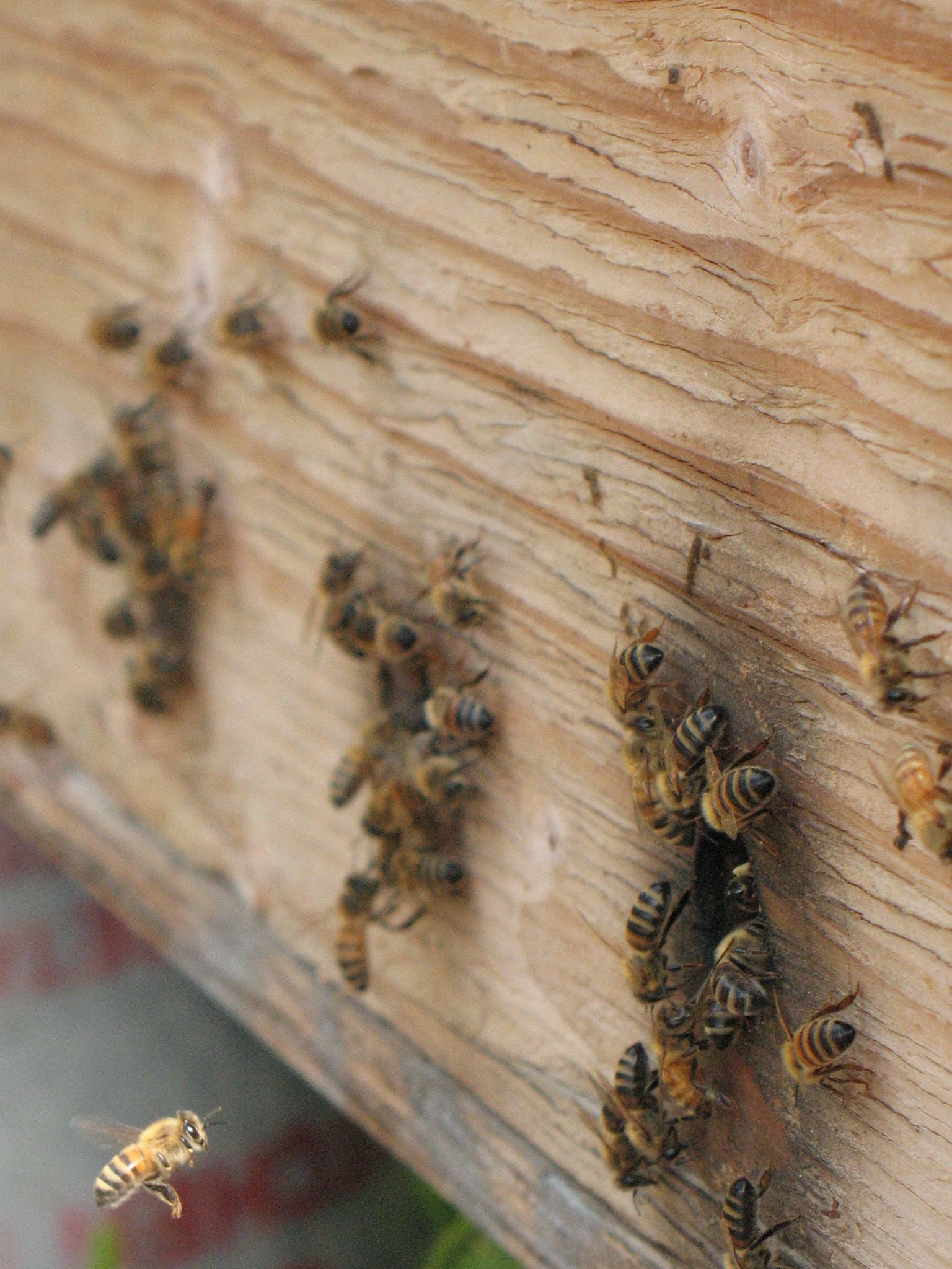 a report on a bees observation experiment Use the following template if a study report (ie toxicity test) was submitted  [ briefly describe the experimental design]  bees are observed closely for 4  hours after exposure, and then for mortality and signs of intoxication at 24 and 48  hours.
