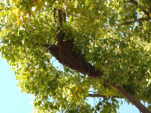 Today's swarm in our bees' favorite camphor tree.