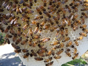 This photo does little to back up my claim that bees were paying attention to the queen, but it is a nice shot of her head and back!