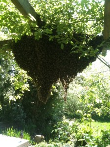 Previous year's swarm hanging out under rose arch.