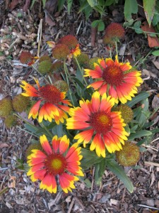 Gaillardia 'Golden Halo'