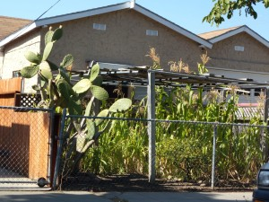 Prickly pear cactus and corn fill a local city front yard on the 'poor' side of town.