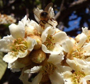 Honey bees love loquat blossom nectar as a winter food source.