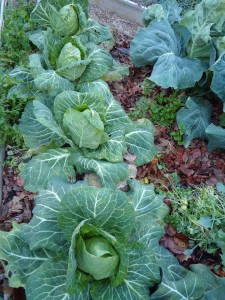 'Parel', our favorite small cabbage. With our switch next season to all open pollinated varieties, we will have to find a replacement for this great cabbage.