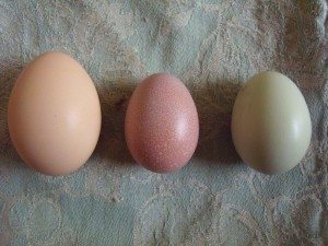 From left, full-sized Barred Rock egg, Welsummer pullet egg, and Ameraucana pullet egg.