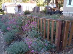 Kelly is in the process of transforming the front yard garden into a wonderland for pollinators.