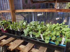 Winter babies ready in the greenhouse.