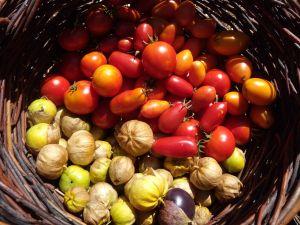 Late-season tomatoes and tomatillos.