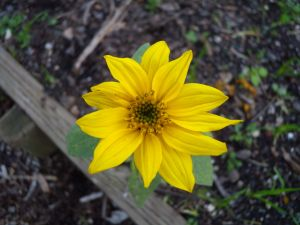 The little sunflower that could (all the way through December!).