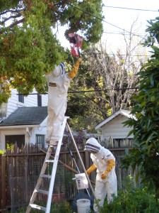 Two beekeeper friends came over to retrieve a swarm. They experimented with a plastic mesh potato sack on the end of a stick. Personally, I prefer a 5-gallon bucket!