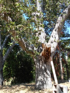 We also hope the old oak tree won't drop branches on the hives. Yikes!
