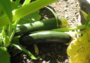 'Black Beauty' zucchini.